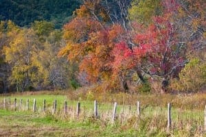 Fall colors of trees lining the Cades Cove Loop Road